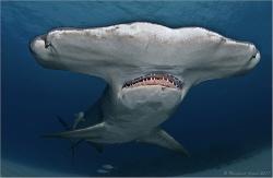 Great hammerhead shark (Sphyrna mokarran), Tiger Beach, B... by Reinhard Arndt