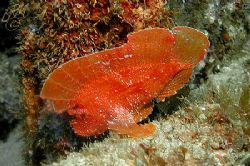 Red Indianfish from Mauritius......... Looks like a flatt... by Brian Mayes