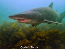 Grey nurse shark, Bushranger Bay, NSW by Mark Tuttle