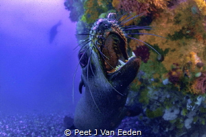 Playful Cape Fur Seal but he also shows his teeth as a wa... by Peet J Van Eeden