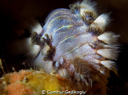 Hermodice carunculata Fire worm by Cumhur Gedikoglu