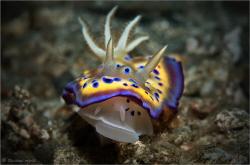 Chromodoris kuniei, Moluccas (Indonesia)  by Reinhard Arndt