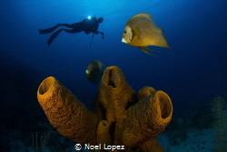 sponge and angelfish, canon 60D, tokina lens 10-17mm, at ... by Noel Lopez