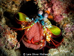 peacock mantis shrimp (Odontodactylus scyllarus) presenti... by Lars Oliver Michaelis