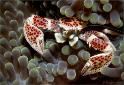 Spotted porcelain crab  (Neopetrolisthes maculatus), appr... by Reinhard Arndt