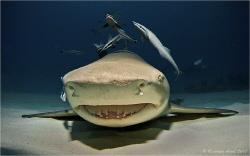 Lemon Shark (Negaprion brevirostris), Tiger Beach, Bahamas by Reinhard Arndt
