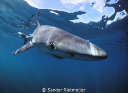 Blue Sharks are so majestic and beautiful, I love them! by Sander Rietmeijer