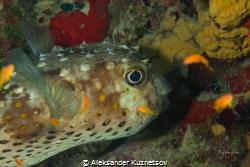 Spotbase burrfish rests in him den by Aleksander Kuznetsov