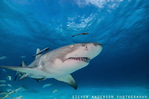 Tiger Beach has a gang of Lemon Sharks that always seem t... by Steven Anderson