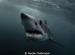 Some Mako sharks are real players! by Sander Rietmeijer