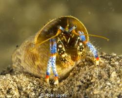 hermit crab, panasonic GH4 ,olympus lens 60mm macro, plus... by Noel Lopez