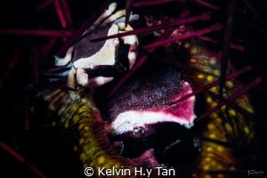 Family (2 sea urchin crab) by Kelvin H.y Tan