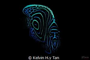 Juvenile emperor fish by Kelvin H.y Tan