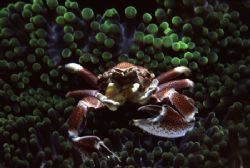 Porcelain crab showing off by Richard Smith