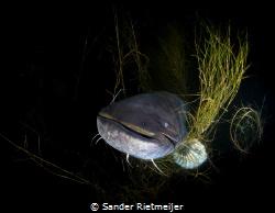 Big European catfish. by Sander Rietmeijer