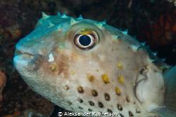 Spotbase burrfish.Cyclichthys spilostylus, known commonly... by Aleksander Kuznetsov