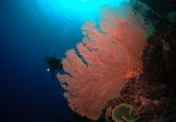 This Biak Sea Fans was taken in Padaido Island, Biak,Papua by Iman Brotoseno
