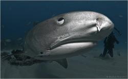 Tiger Shark - closer isn't possible. by Reinhard Arndt