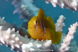 The Lemon Coral Goby (Gobiodon citrinus) by Oksana Maksymova