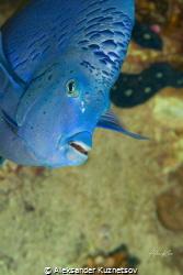 Yellowbar angelfish is interesting by Aleksander Kuznetsov