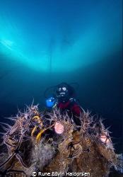 Diver and brittle stars by Rune Edvin Haldorsen