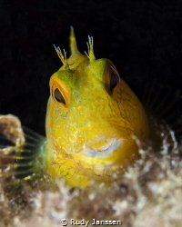 Yellow Goby by Rudy Janssen