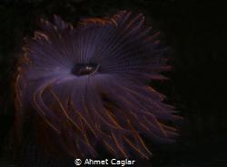 From Adabükü Bodrum. more than a flower Olympus EM1 MarkI... by Ahmet Caglar
