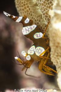 Thor amboinensis shrimp  by Jose Maria Abad Ortega
