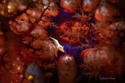 Emperor shrimp on sea apple by Julian Hsu