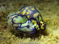Haminoea cyanomarginata Sweet Love by Cumhur Gedikoglu
