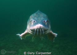 White sturgeon (Acipenser transmontanus) Taken in Jackda... by Gary Carpenter