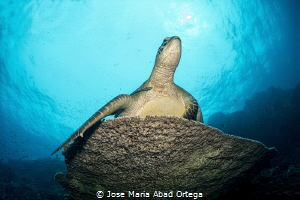 Turtle rest on the table reef and pose for the picture. by Jose Maria Abad Ortega