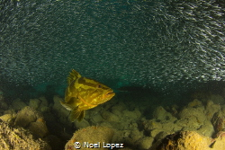 nassau grouper feeding on silver side fish. Canon 60D ,to... by Noel Lopez