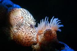 Leopard Anemone Shrimp by Julian Hsu
