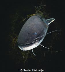 Big European Catfish says hello. by Sander Rietmeijer