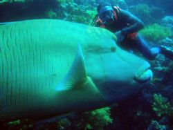 Buddy & Napoleon Wrasse.(Big eh)? by Keith Mason