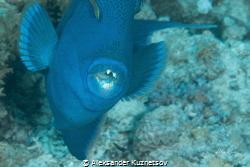 Triggerfish makes attack by Aleksander Kuznetsov
