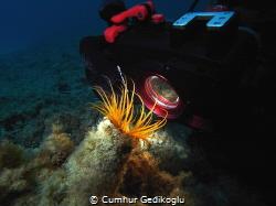 Cerianthus membranaceus Concentration by Cumhur Gedikoglu