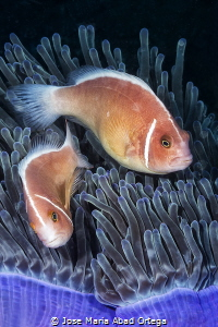 Dancer Clown fishes on anemone by Jose Maria Abad Ortega