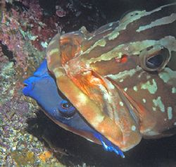 Nassau Grouper trying unsuccessfully to swallow a Blue Ta... by Jim Chambers