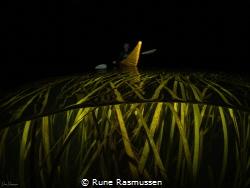 dad kayaking over the danish seaweeds at a night time swi... by Rune Rasmussen