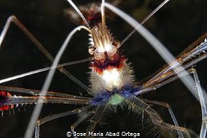 Boxer Shrimp, Stenopus hispidus Close Up by Jose Maria Abad Ortega