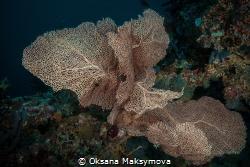 Beautiful Gorgonian (Sea Fan) by Oksana Maksymova