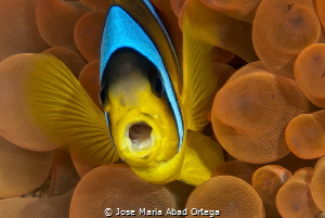 Kiss me Amphiprion bicinctus Red Sea Clown fish by Jose Maria Abad Ortega