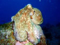 We found this caribbean reef octupus a bit before sunset.... by Carlos Valenzuela