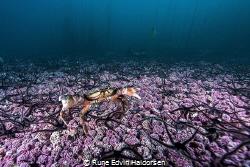 European shore crab. by Rune Edvin Haldorsen