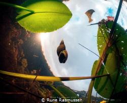 snail pic taken in a swamp in Sweden by Rune Rasmussen