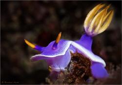 Purple Nudibranch (Hypselodoris apolegma), Mabul (Malaysia) by Reinhard Arndt