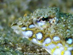 Callionymus pusillus Sailfin dragonet by Cumhur Gedikoglu