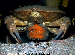 Crab with eggs. Canon G16 & Ikelite WD-4 Wide angle dome by Athanassios Lazarides